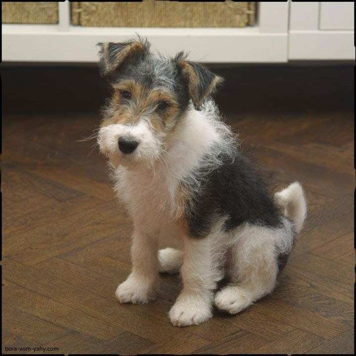 Wire fox terrier for sale